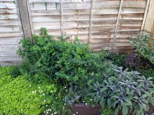 Oregano, Rosemary, Lemon Balm and Sage